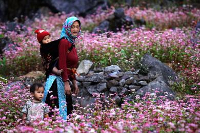 Mùa hoa Tam giác mạch tại Hà Giang